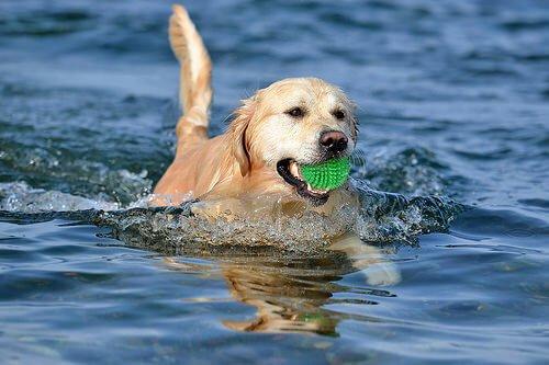 suda oynayan köpek