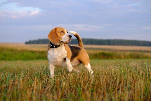 açık alanda beagle