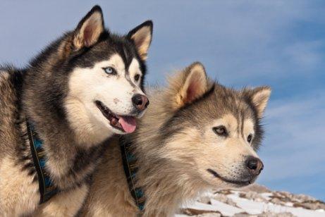 Alaska Malamutu ile Sibirya Kurdu Arasındaki Fark