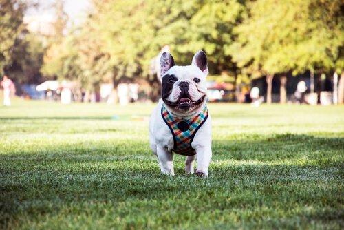 French Bulldog: Sevecen ve Akıllı Köpekler