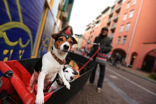 Hollanda'da köpekler