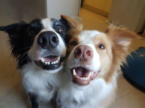 iki köpeğe sahip olmak