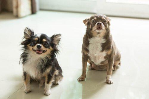 iki köpek sahiplenmenin faydaları