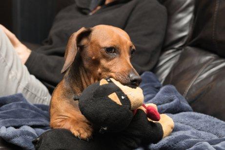 oyuncağıyla beraber köpek
