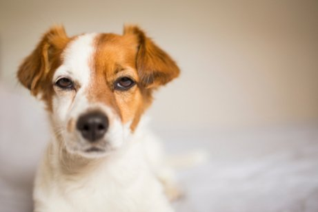 Kıskanç Köpekler: Köpekler Neden Kıskanır?