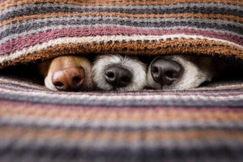 örtünün altında üç köpek