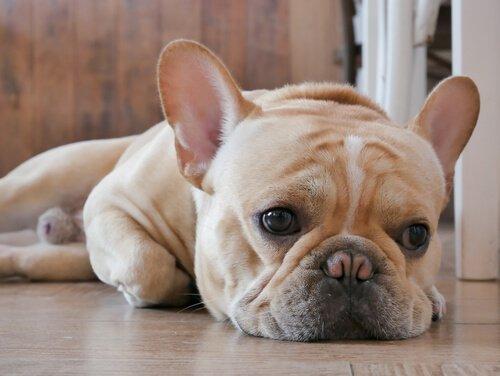 yerde yatan mutsuz köpek