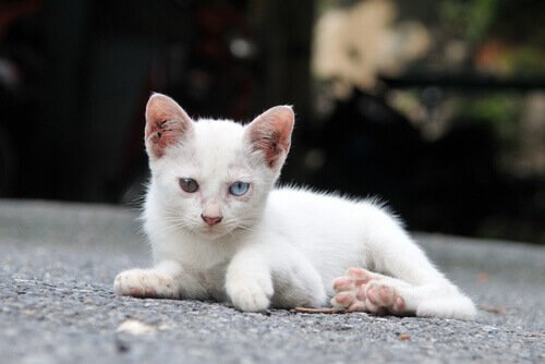 iki gözü farklı renk kedi