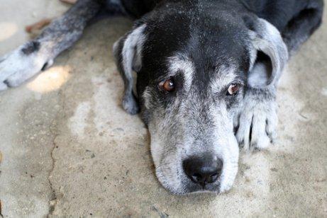Köpeklerin Ortalama Ömürleri Ne Kadardır?