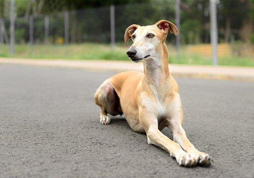 yatan Spanish greyhound