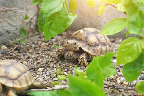 Afrika kaplumbağaları
