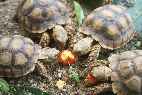 Afrika kaplumbağaları elma yiyor