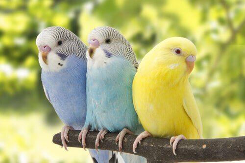 üç muhabet kuşu