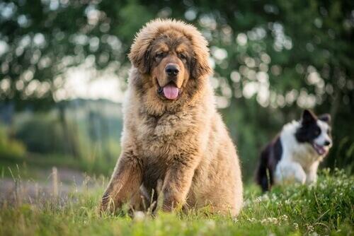 dünyanın en pahalı köpeği Tibet mastifi
