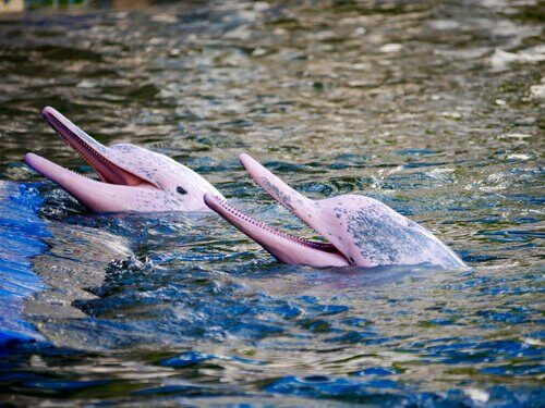 Amazon Nehir Yunusu: Büyüleyici Bir Yaratık