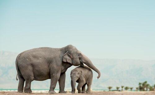 yavru ve anne fil
