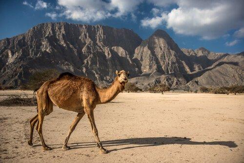 arap develerinin yaşam alanları