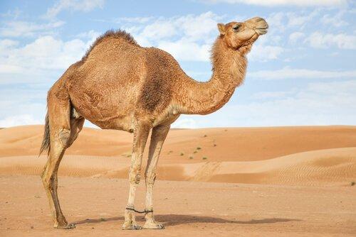 çöldeki arap develeri