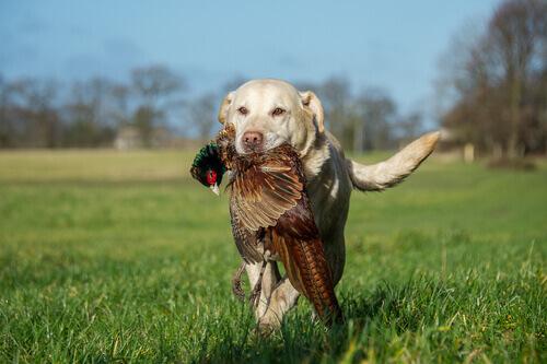 ağzında avını tutan av köpeği