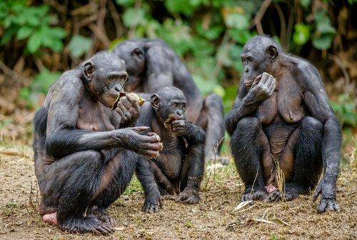 yemek yiyen bonobolar