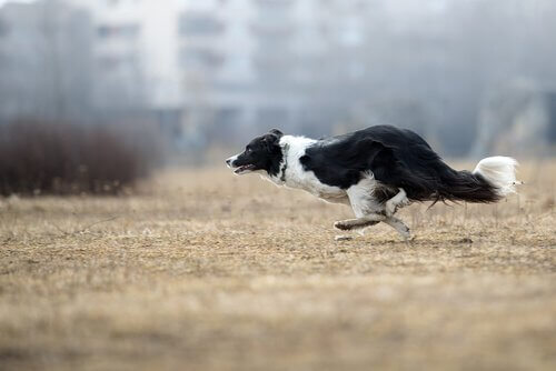 koşan border collie