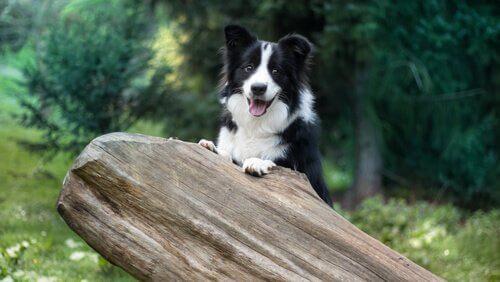 Border Collie: Çok Akıllı Bu Köpekler Nasıl Eğitilir?