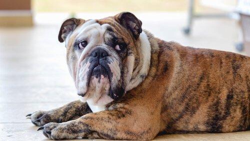 depresif bulldog