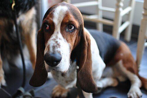 gözleri yaşaran köpek