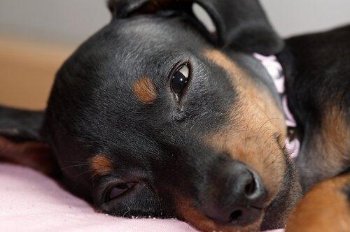 gözlerinde çapak olan köpek
