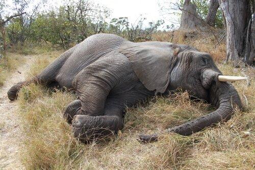Botswana'da 100 Afrika Filinin Katledilişi