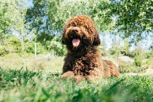Çimlerde yatan Portekiz su köpeği