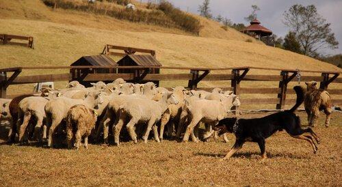 sürü ve çoban köpeği