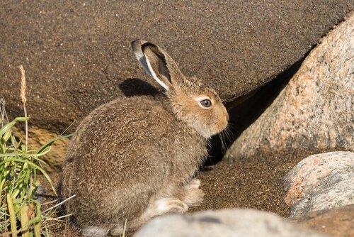 Soyu Tükenmekte Olan Yaban Tavşanı