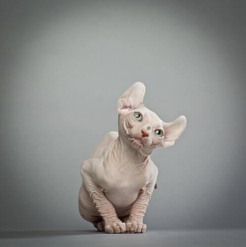 elf kedisi ve fiziksel özellikleri
