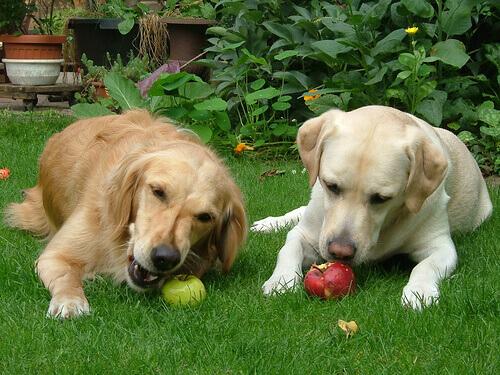 elma yiyen köpekler