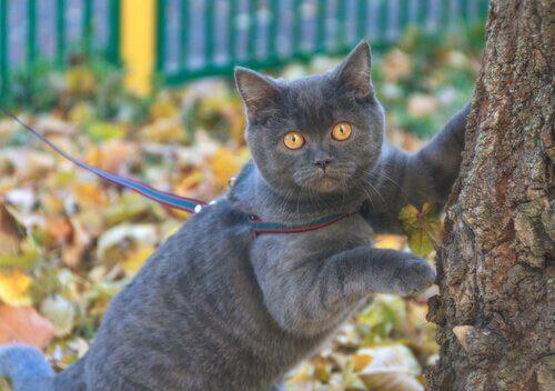 tasmalı gri kedi