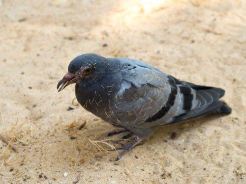 Güvercin Hastalıkları