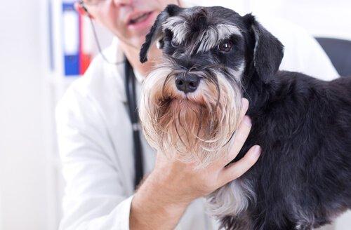 veterinerin kafasını tuttuğu hasta köpek