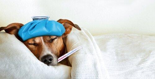 Köpeklerde Menenjit: Nedeni, Belirtileri ve Tedavisi