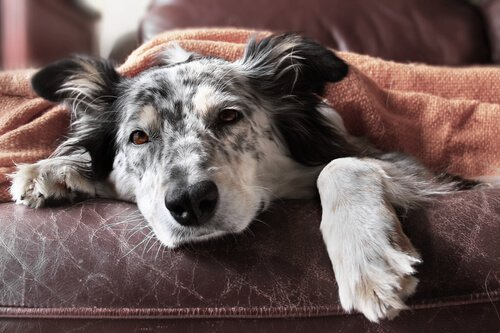 Hasta bir köpek