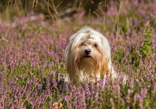 havanese köpeğinin kişiliği