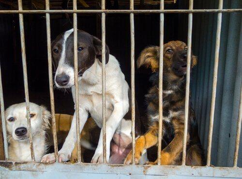 Bir kafeste kilitli kalmaktan dolayı depresyon belirtileri gösteren üç köpek