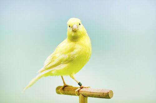 tahta çubukta duran sarı kanarya
