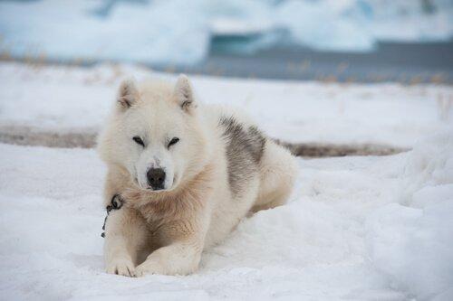soğuk iklim köpekleri