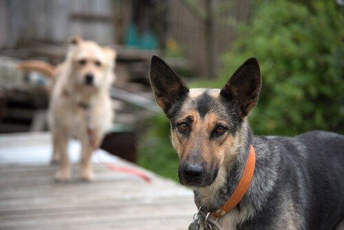 karma cins köpekler