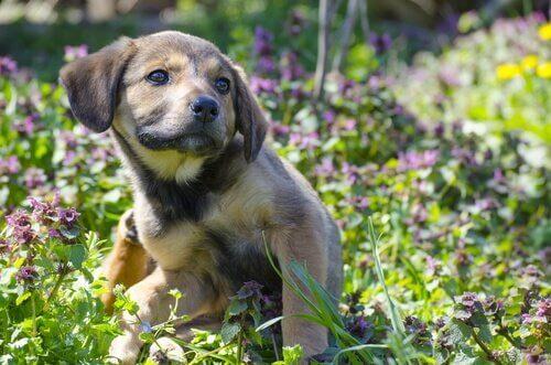 küçük köpek ve mor çiçekler