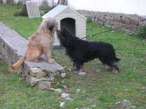Katalan çoban köpeği özellikleri