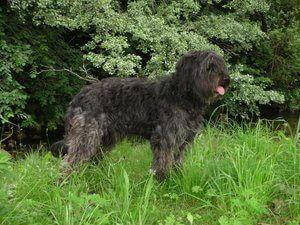 Katalan çoban köpeği ve özellikleri