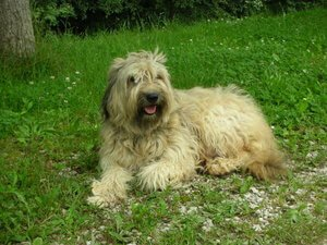 Katalan Çoban Köpeği