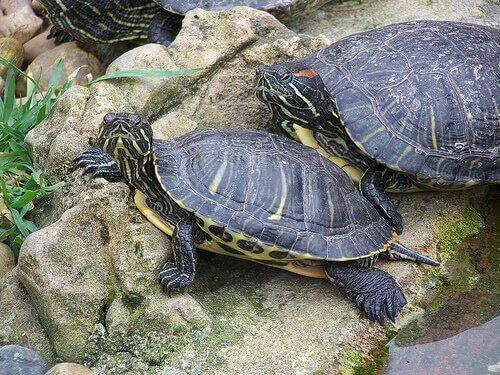 kayadaki kaplumbağalar